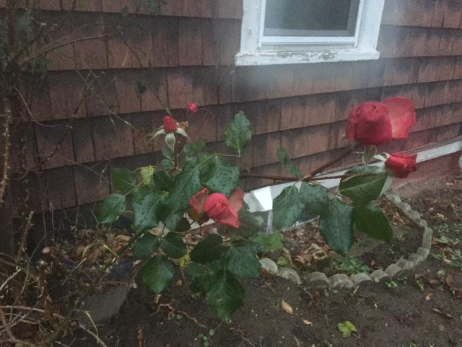 Dec18_Roses